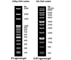 100-bp-1-kb-dna-ladder-marker