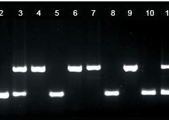 agarose-gel-dna